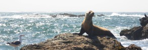 A Sea Lion In Summer