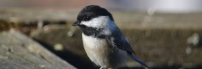 Black Capped Chickadee in the Sunshine
