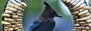 Steller's Jay on Nut Wreath