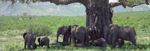 Elephants around a Baobab Tree