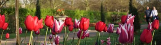 Regents park tulips